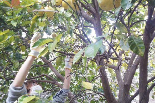 長崎ザボン発祥の原木